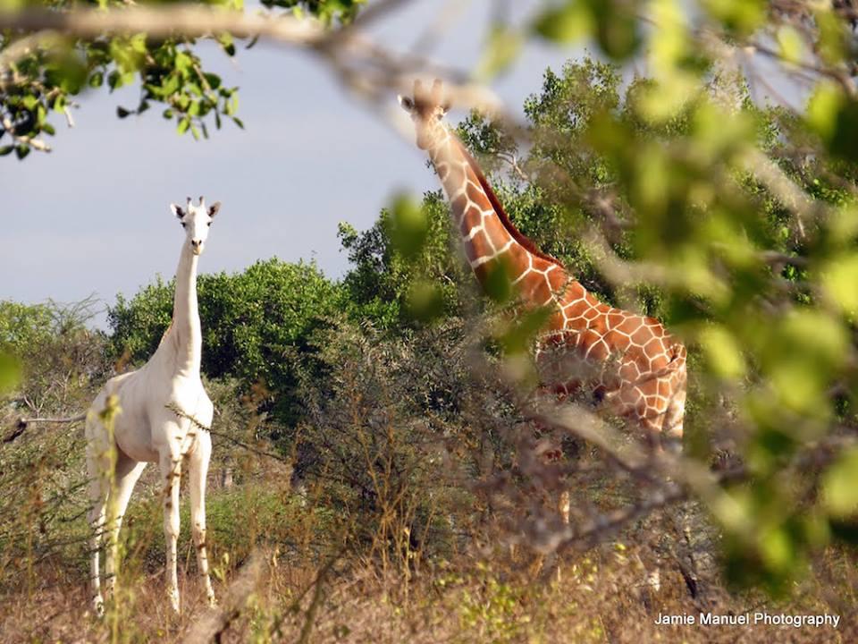 The white giraffe in Tanzania/Jamie Manuel Photography