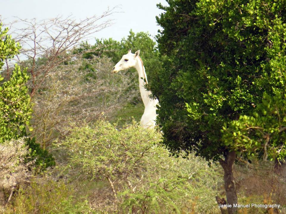 Photographer Jamie Manuel captured images of a rare white giraffe in Kenya.