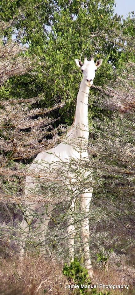 Rare white giraffe spotted in Kenya/Jamie Manuel Photography
