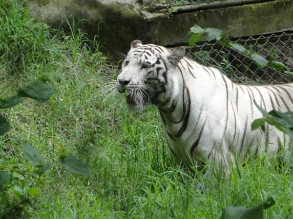 White tiger at FURESA is the Wildlife Refuge Foundation in El Salvador/Salvadorean Tours