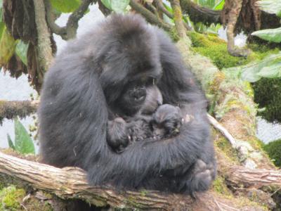 gorillatwinsDianFossey2mos