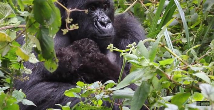 gorillatwinsFosseyRwanda