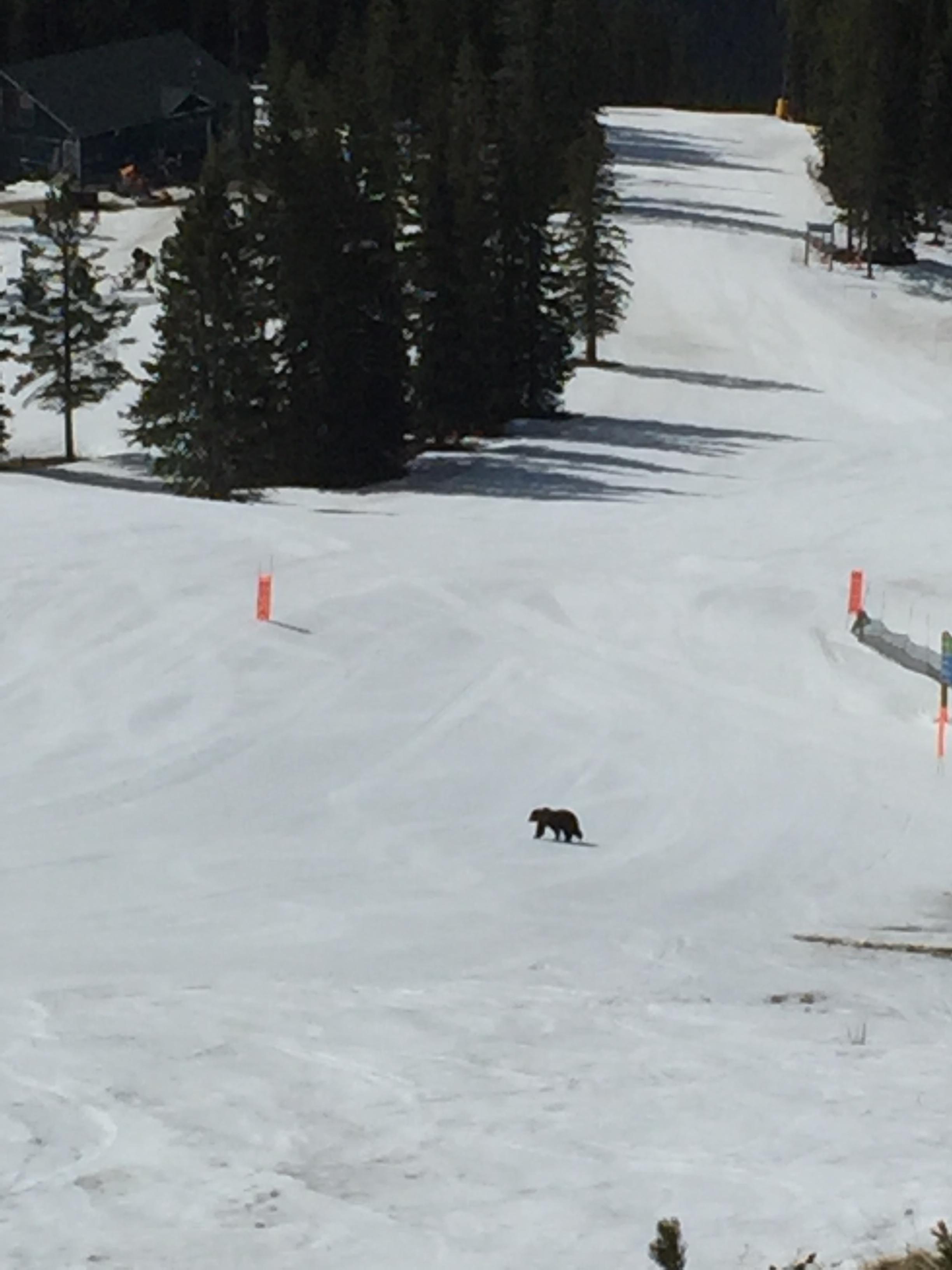 Grizzly bear on a run at the Lake Louise Ski Resort/Lake Louise