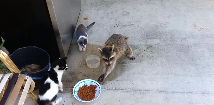raccoonstealscatfood
