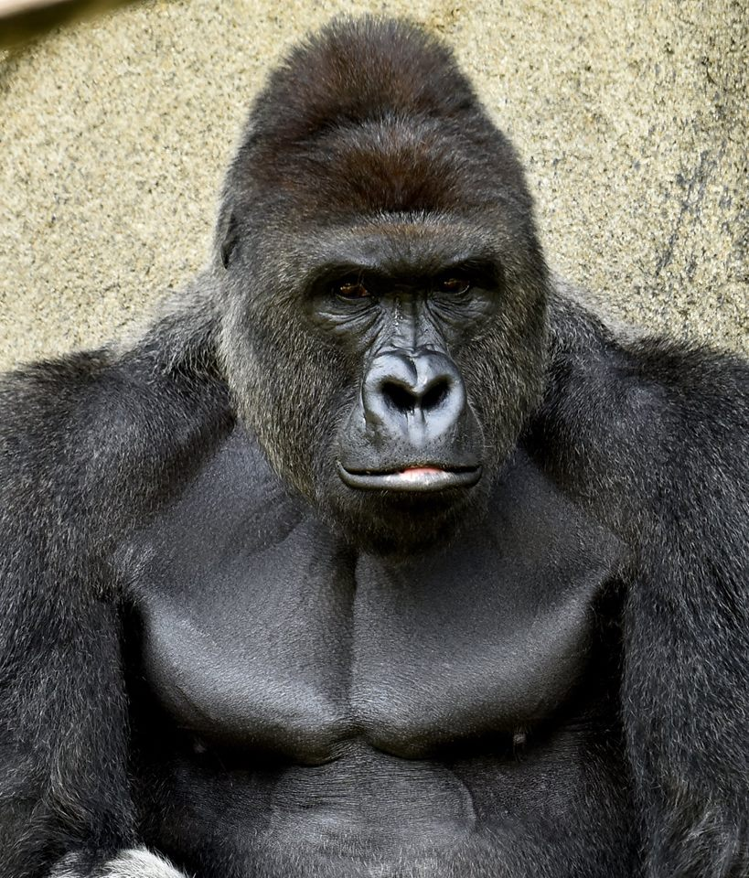 This photo of Harambe was posted on Facebook by the zoo May 27, the gorilla's 17th birthday. The next day, he was shot/Cinncinati Zoo
