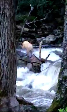 bearcrossesriver