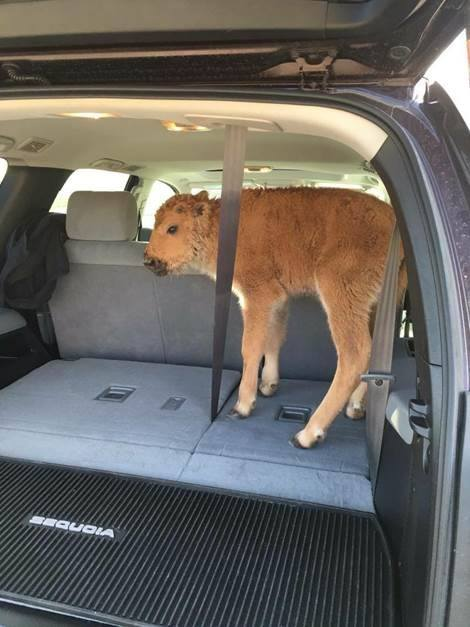 Karen Olsen Richardson took this photo of a bison in the back of a tourist's car at Yellowstone National Park