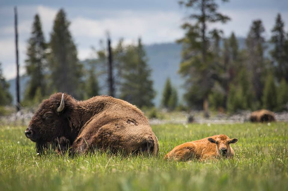 Mother and calf enjoy a hot summer day/Yellowstone National Park, Facebook
