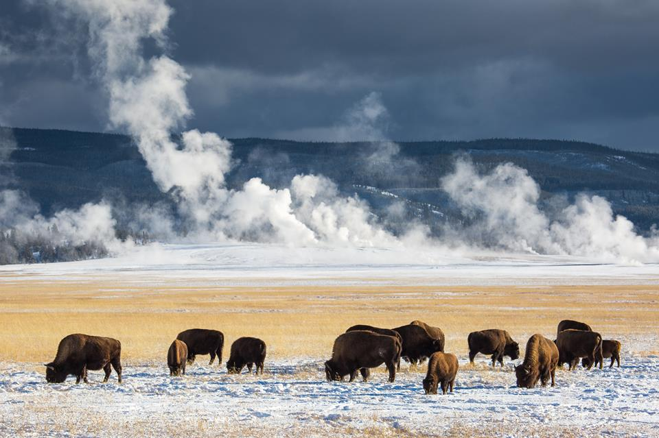 Yellowstone National Park is home to nearly 5,000 bison/Facebook