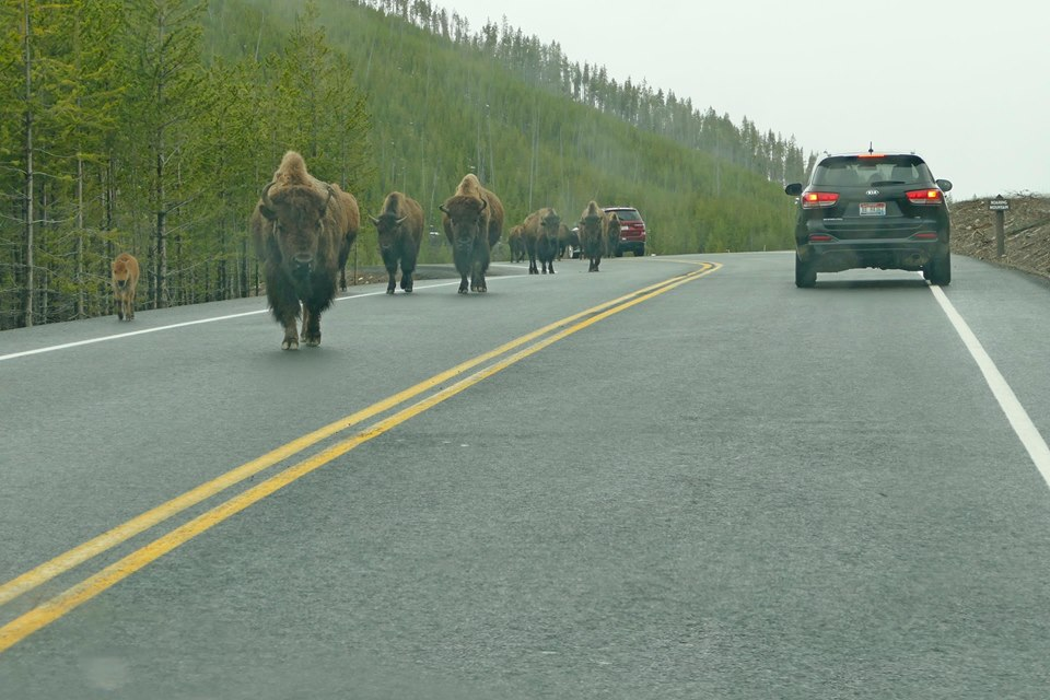 bisonroadYellowstone