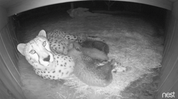 """Milani and her cubs on """"Cheetah Cam."""" Metro Richmond Zoo/Facebook"""