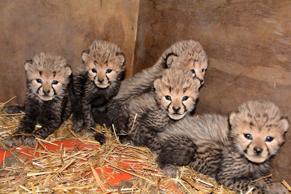 Wiay's cubs. Metro Richmond Zoo/Facebook
