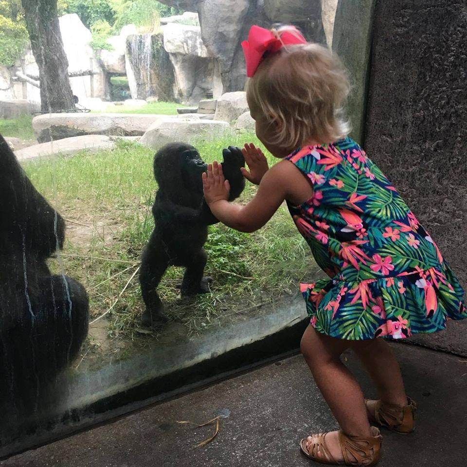 Baby western lowland gorilla named Gus meets a little girl named Baylee. Fort Worth Zoo/Facebook
