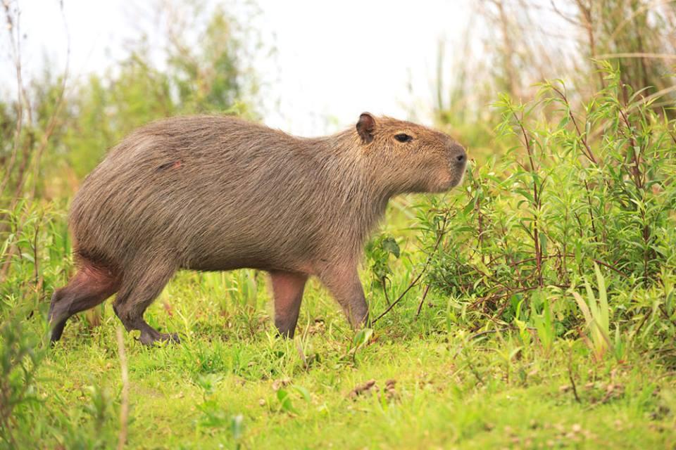 Capybara of the High Park Zoo/Facebook