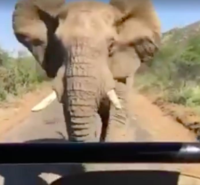 ElephantSchwarzenegger
