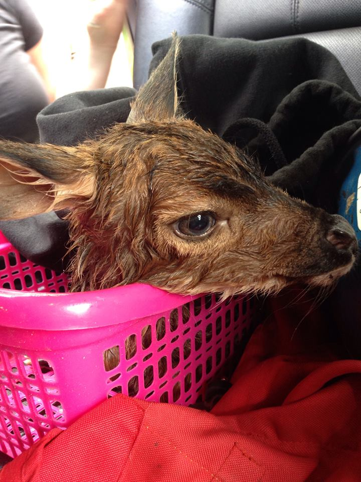 The deer was wrapped in Sean's sweatshirt, placed in a basket the back seat of the Steele's truck/Facebook
