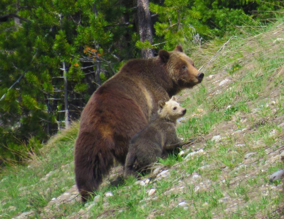 Grizzly 399 with her cub photographed on May 10, 2016 in Grand Teton National Park. CJ Adams/Facebook
