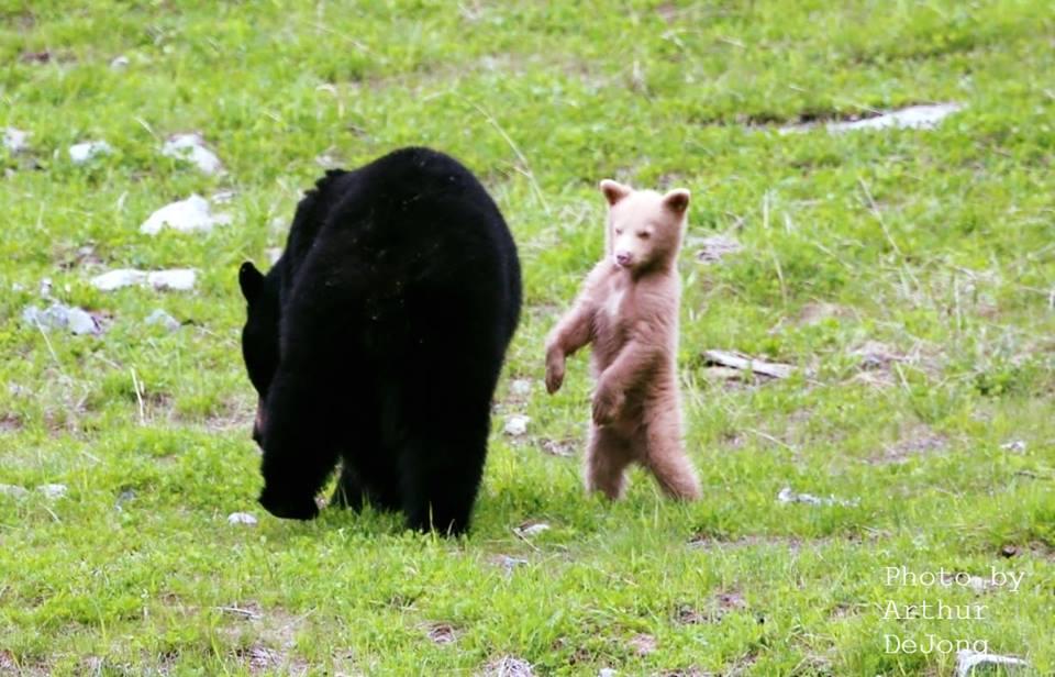Cub dances while mother wanders by in Whistler/Arthur De Jong