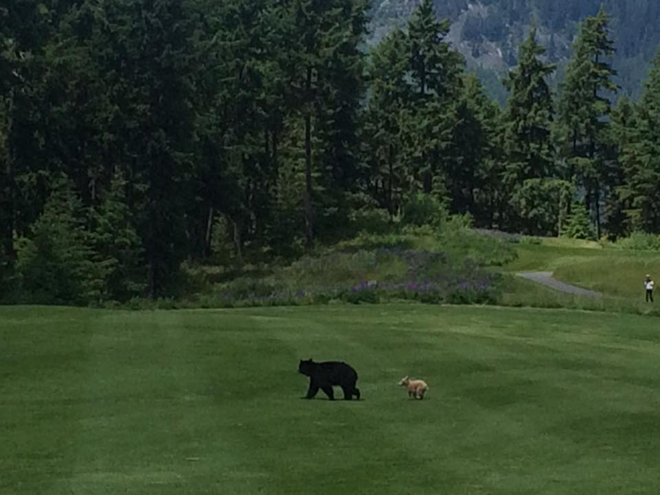 Celebrity bear takes in a round of golf/Rich Budd