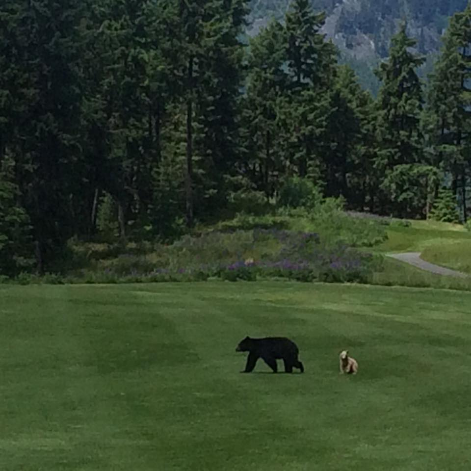 Mother and cub on taking a lap on the golf course/Rich Budd
