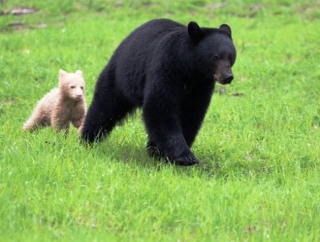 Mother and cub frolic at Whistler-Blackcomb/Arthur De Jong