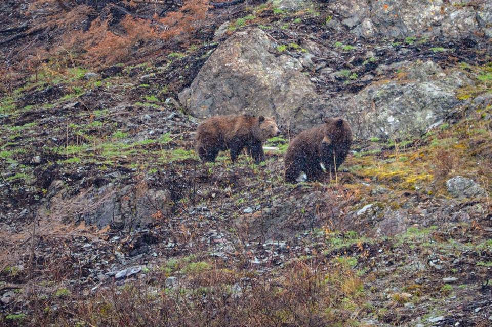 Grizzly bears in Glacier National Park spotted in April/Facebook