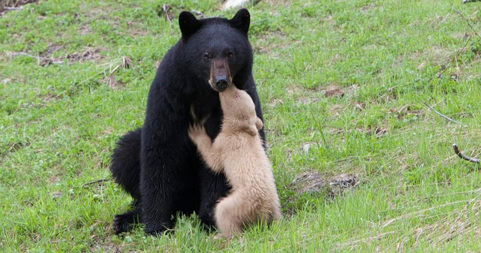 """Cathryn Atkinson shared this image of """"mama bear with tawny cub"""" in Whistler./Michael Allen"""