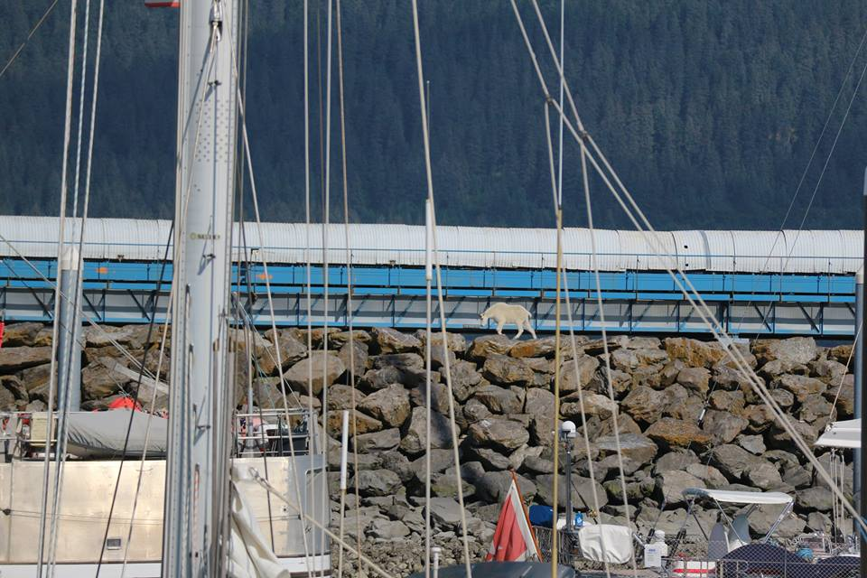 The goat tries to avoid onlookers as it makes its way along Seward Harbor. Patrice Fero/Facebook