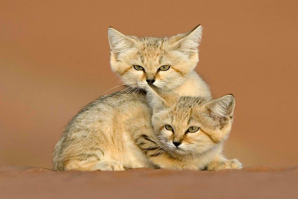 Arabian sand cats take a cuddle break. Environment Agency Abu Dhabi/Facebook