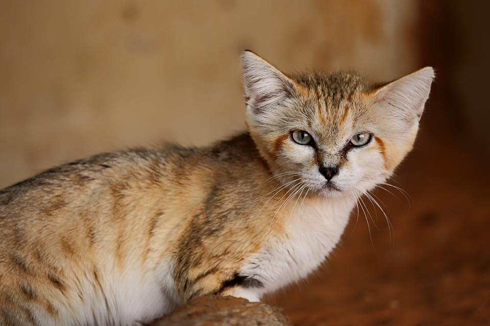 Male Arabian sand cat part of the breeding program at the Al Ain Zoo/Facebook