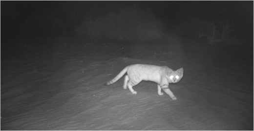 Arabian sand cat captured in Baynouna protected area in November 2015/