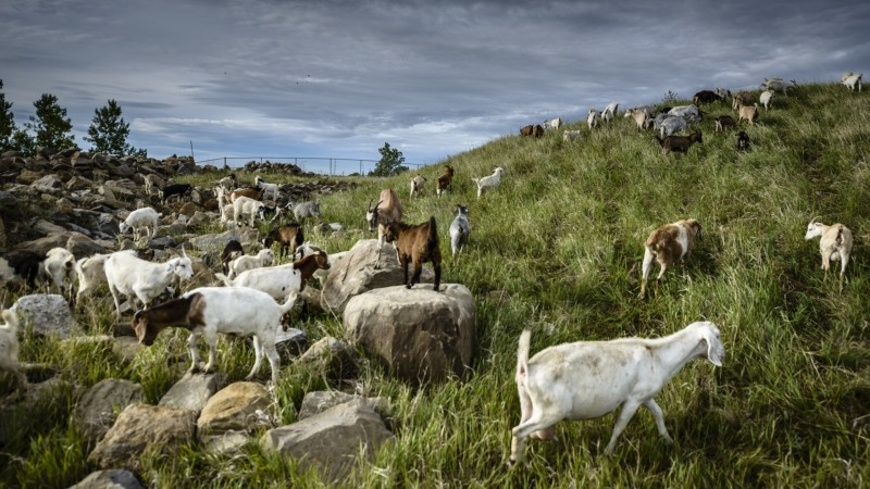 Goats used in a pilot project in Calgary were champion weed-eaters/City of Calgary