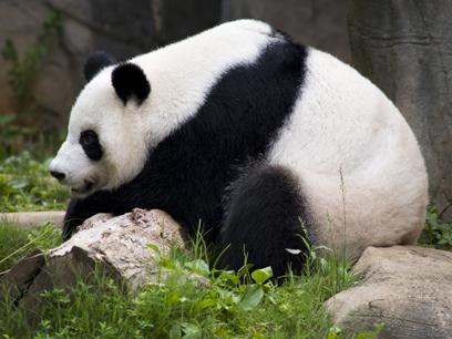 Lun Lun relaxing at Zoo Atlanta