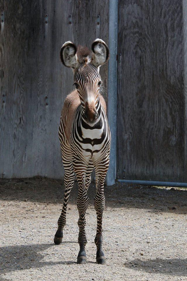 ZebrababeTorontoZoo