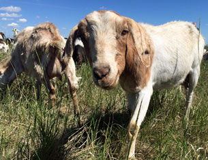 More goats proving gold-medal weed clearers in Calgary/City of Calgary