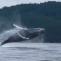 humpbackwhaleWildcoastAdventures