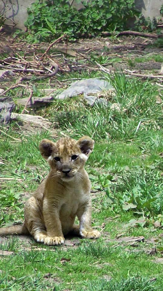 lioncubBuffalo
