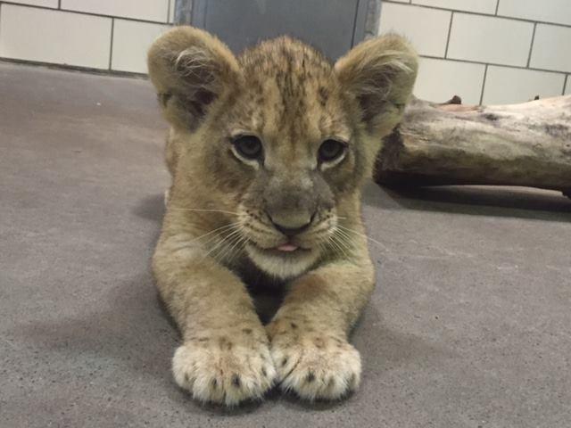 lioncubBuffaloZoo