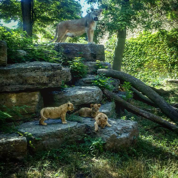 liontripletsBuffaloZoo