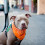 800px-rockridge_pitbull