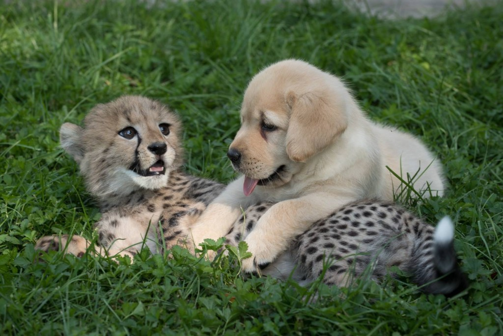 Cheetah cub and puppy are becoming fast friends at the Columbus Zoo and Aquarium/Facebook