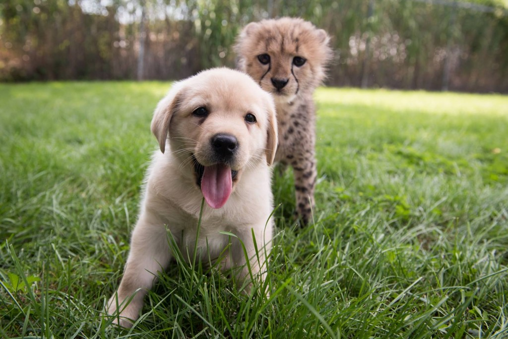 Cullen the puppy will help calm Emmett the cheetah at the Columbus Zoo/Facebook