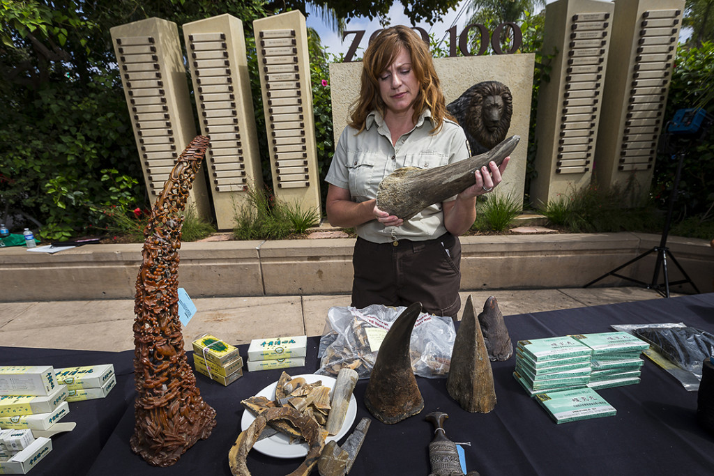 Cole Schaefer, supervisor, National Wildlife Property Repository, U.S. Fish and Wildlife Services holds a confiscated rhino horn at the San Diego Zoo earlier today (Sept. 7, 2016.) Law enforcement officers from the U.S. Fish and Wildlife Service and the California Department of Fish and Wildlife displayed rhino horn materials, valued at $1 million on the black market, at the San Diego Zoo to raise awareness of the worldwide wildlife trafficking and poaching crisis that is pushing rhinos toward extinction.The rhino horn products, confiscated by U.S. Fish and Wildlife worldwide, included ornate objects and items falsely marketed as medicinals. The public display—hosted by the U.S. Fish and Wildlife Service, the California Department of Fish and Wildlife and San Diego Zoo Global—provided an opportunity for Zoo guests to see the confiscated items and learn about the devastating impact of wildlife trafficking before the items are destroyed. They will be set afire at an invitation-only rhino horn burn at the San Diego Zoo Safari Park on Thursday, Sept. 8. The event, the first of its kind in the nation, will send a message that wildlife trafficking will not be tolerated, and that these organizations, along with partners and countries around the world, will work together to end this threat to rhinos. Currently, more than three rhinos are being killed, on average, per day in Africa for their horns. Rhinos have disappeared entirely from the vast majority of the continent. At this rate, it is a very real possibility that rhinos could become extinct in the next 15 years. Photo taken on Sept. 7, 2016, by Ken Bohn, San Diego Zoo Global.