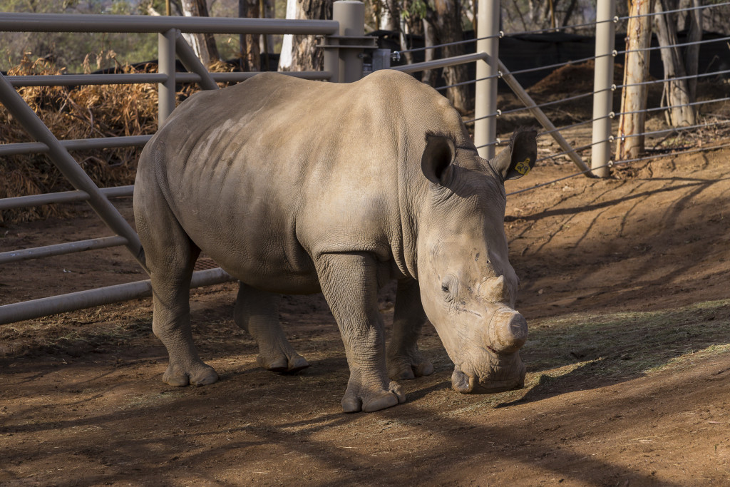 Wallis, victim of a poaching attempt, now recovering at the San Diego Zoo Safari Park