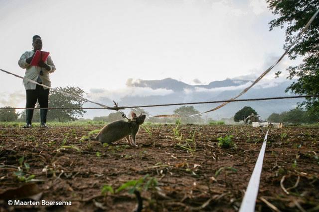 A land mine detection rat in action/Maarten Boersema/APOPO/Facebook