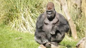 kumbuka-silverback-gorilla-c-zsl-1-wr