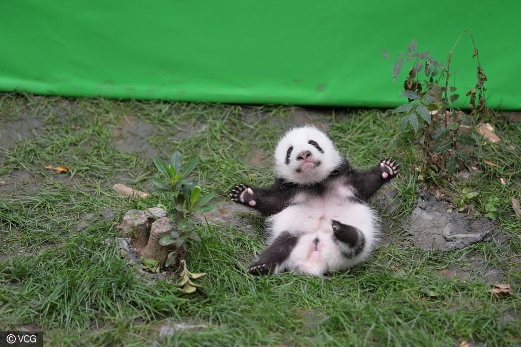 One happy little panda. iPanda/Facebook