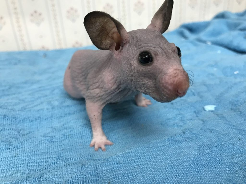 Silky the hairless hamster at the Oregon Humane Society/Facebook