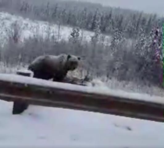 grizzlyeatingmoosejasper