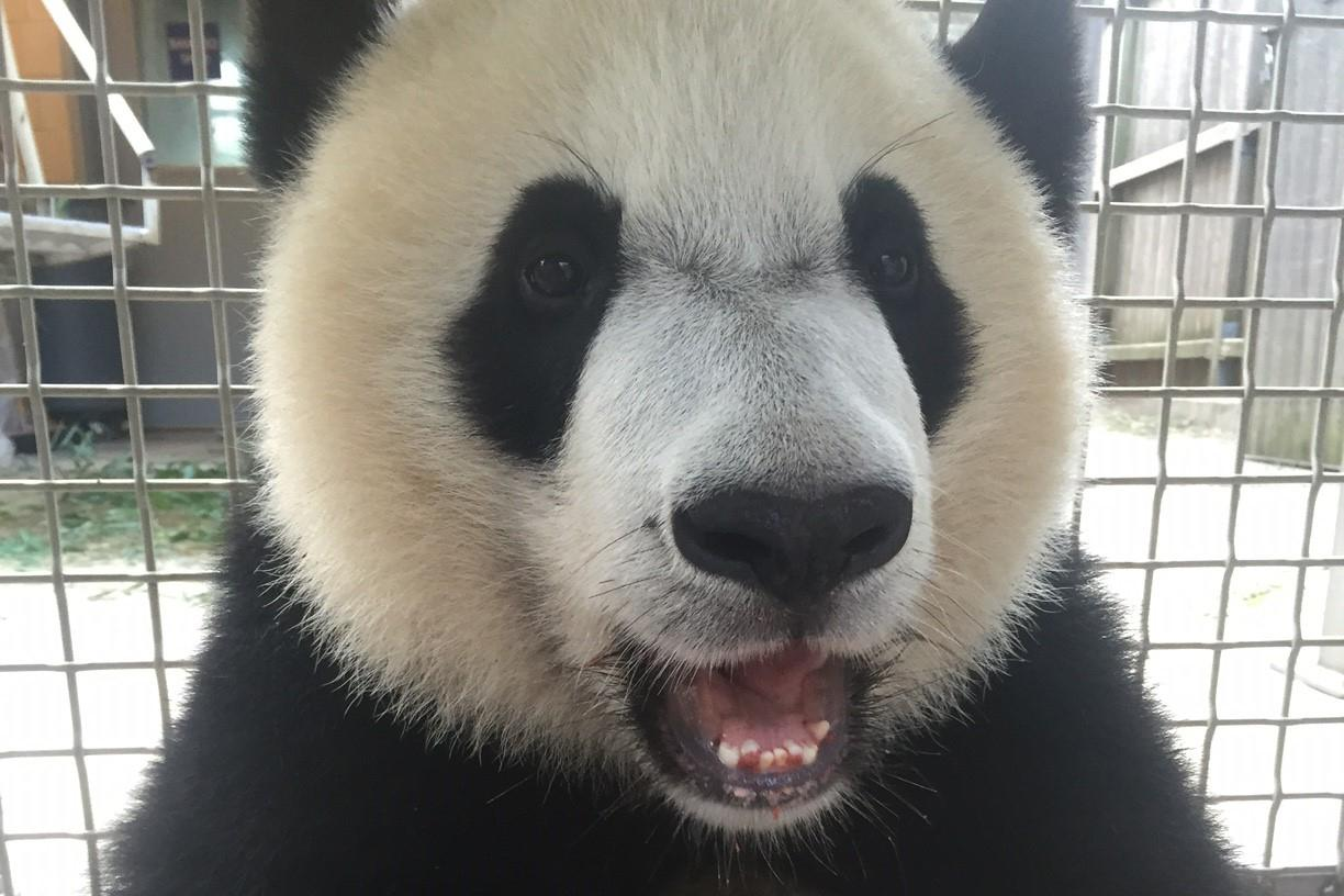 "Bei Bei is ""well ahead"" the learning curve in cooperating with vets and keepers. Smithsonian's National Zoo"